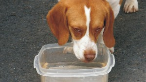 Dog drinking from bucket